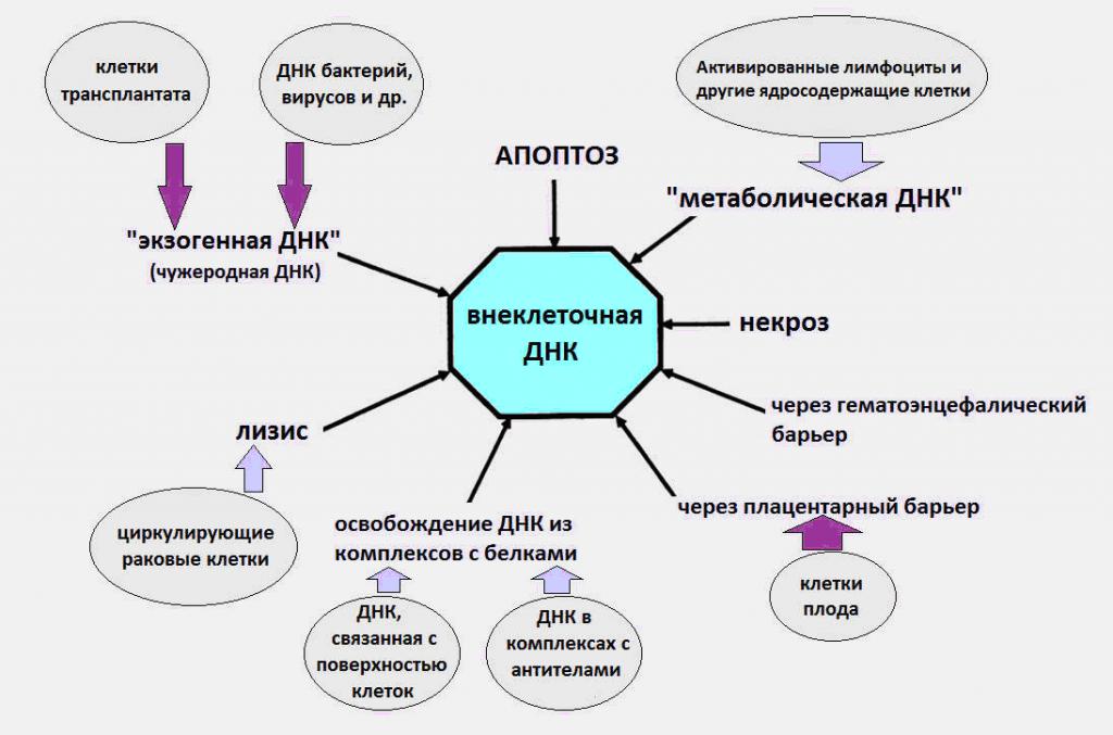 Внеклеточная ДНК