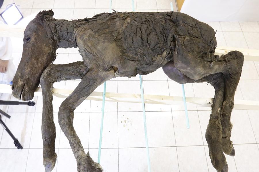 Жидкая кровь возрастом 42 тысячи лет была найдена в теле маленького жеребенка