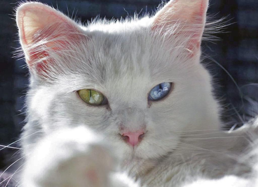 белые и голубоглазые кошки глухие