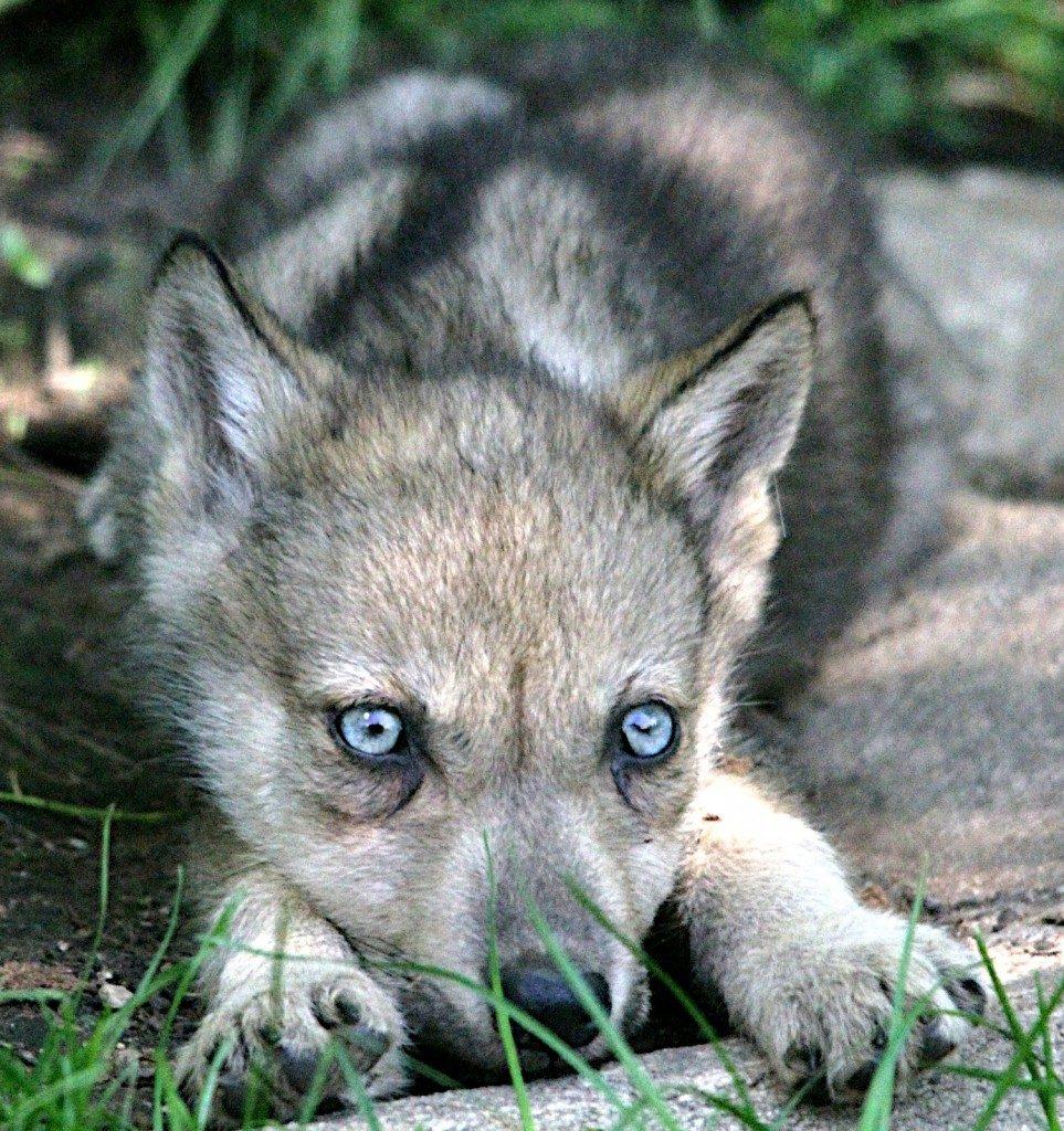 Койоты с голубыми глазами