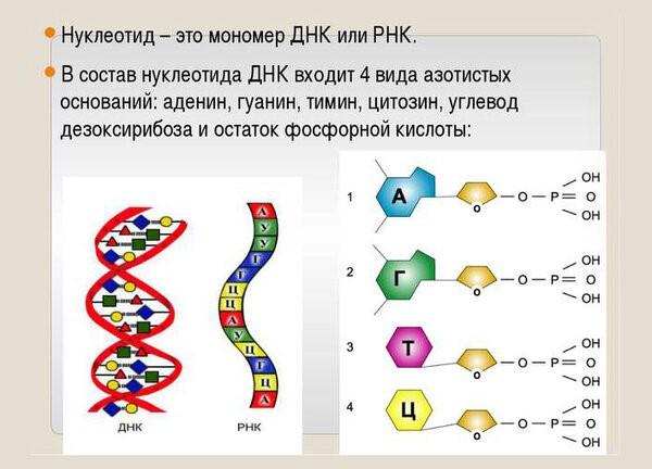 Схема построения ДНК