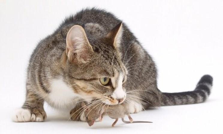 кошачьи паразиты